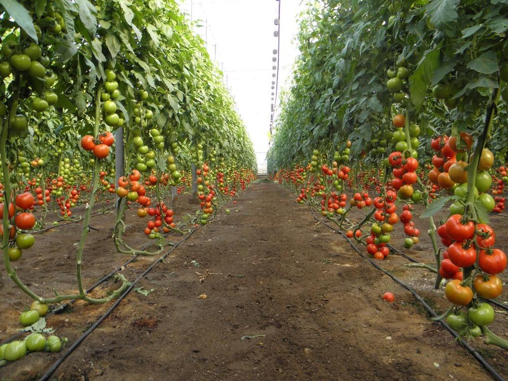 Выращивание помидор в домашней теплице 160