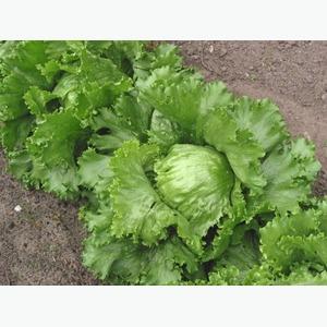 Предлагаем салат Айсберг от производителя