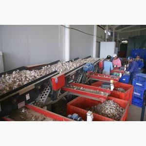 Сортировщик луковиц чеснока лука