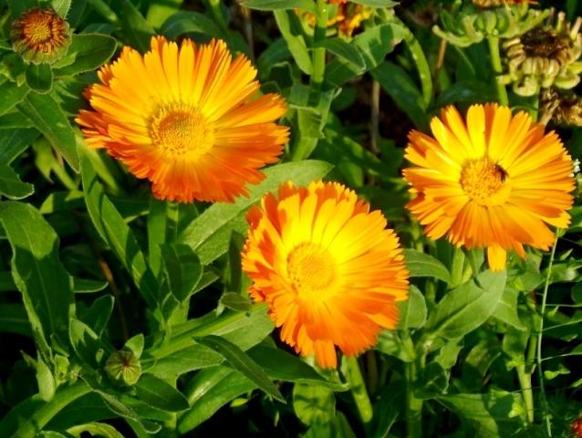 ботаническое описание календула лекарственная