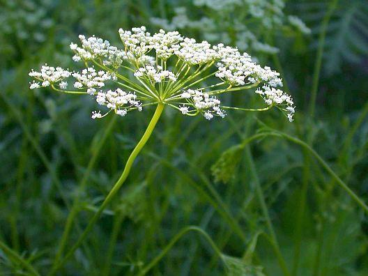Анис обыкновенный ботаническое описание