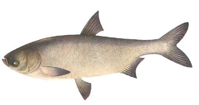 пестрый толстолобик рыбы русская рыбалка